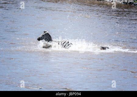 Common Zebra, Equus quagga burchellii, chased by a Crocodile, Crocodilus niloticus, crossing the Mara River during - Stock Image