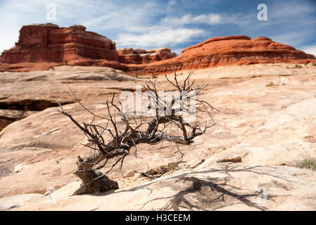 Dead tree in Canyonlands National Park, Utah, USA - Stock Image