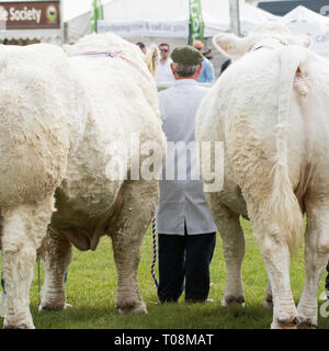farmer standing between two Charolais cattle at the Royal Highland Show 2018, Edinburgh, Scotland, UK - Stock Image
