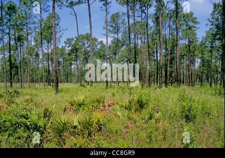 Semi-open, wet savanna habitat at Mississippi Sandhill Crane National Wildlife Refuge, Gautier, Mississippi, AGPix - Stock Image