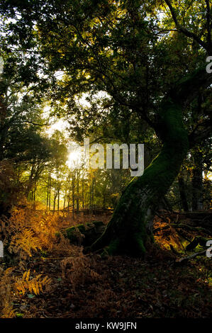 Beechwood, New Forest - Stock Image