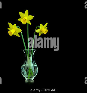 Three miniature yellow daffodil flowers (Narcissus tete a tete) in a small clear glass vase isolated against a black background, Spring, UK. - Stock Image