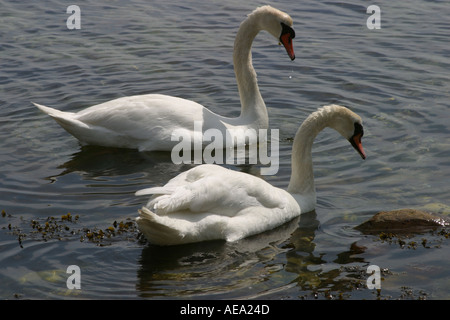 Mute swans Cygnus olor pair swimming and taking food at low water in fjord - Stock Image