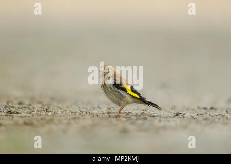 Goldfinch, European, Latin name Carduelis carduelis, juvenile bird standing on the ground against a pale and even background - Stock Image