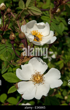 Field Rose (Rosa arvensis) flowering in the English Countryside in summer - Stock Image