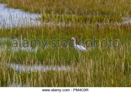 A Little Egret (Egretta garzetta) hunting in the Keyhaven Marshes, Hampshire, UK - Stock Image
