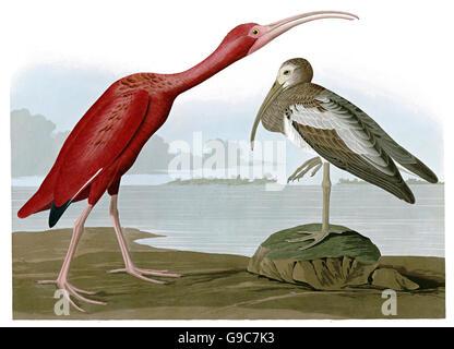 Scarlet Ibis, Eudocimus ruber, birds, 1827 - 1838 - Stock Image