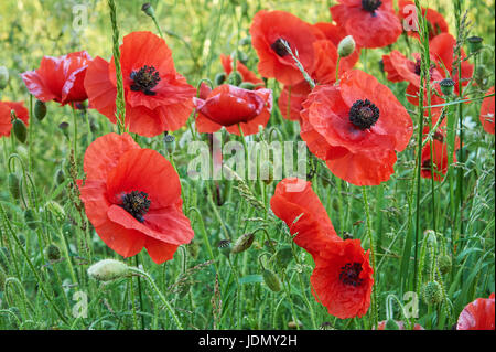 Poppies in a field near the Cotswold village of Ford, Gloucestershire - Stock Image