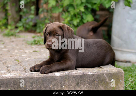 Brown Labrador Retriever, puppy lying on a paved terrace - Stock Image