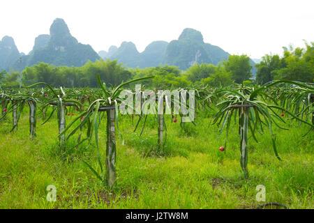 Fruit, Dragon fruit, plantage, cultivation, growing, China, Quangxi, Mingshi, South China, Karst region, Karst, - Stock Image