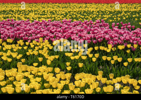 Traditional Dutch tulip field with yellow, pink and red flowers in rows - Stock Image
