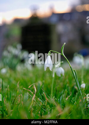 Tissington Village, Derbyshire. 7th Feb, 2018. UK Weather: Snowdrop flower in Tissington Village, Peak District - Stock Image
