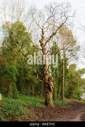 Old gnarled hollow tree - Stock Image