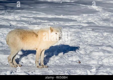Arctic Wolf (Canis lupus arctos), a subspecies of the Grey Wolf, Parc Omega, Quebec, Canada - Stock Image