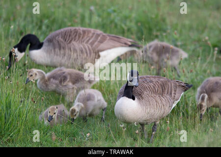 Geese in Panshangar Park. Panshanger Park is a 1000 acre site situated between  the towns Welwyn Garden City and Hertford. - Stock Image