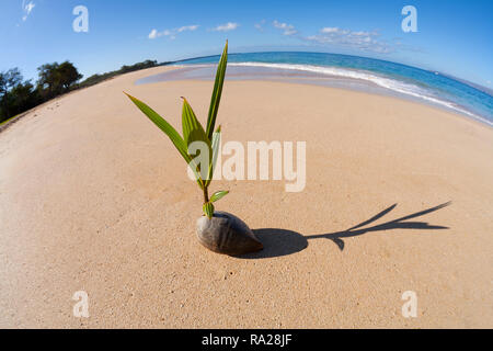 Coconut sprouts to life at Big Beach, Maui, Hawaii. - Stock Image