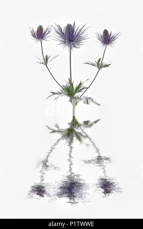 Eryngium flowers reflected in water - Stock Image