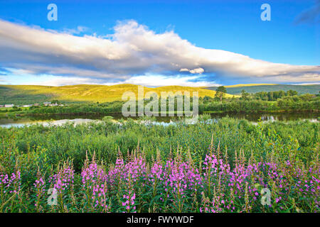 Fireweed is blooming in a meadow at the shore of river Tanaelva in Finnmark in arctic Norway. - Stock Image