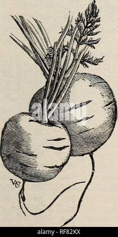 . Thorburn's seeds : 1900. Nursery stock New York (State) Catalogs; Seeds Catalogs; Vegetables Seeds Catalogs; Flowers Seeds Catalogs. 5pYRIGHTED BRUSSELS SPROUTS. CARROTS. Carotte. Zanalioria. SJioftren. Culture.âSow No. 323 as early as the ground can be worked ; or, for late crop, until the latter part of July. For main crop, sow from the middle of May to the first of July. Thin out early crop to 5 inches in the row, main crop 6 to 7 inches ; the rows 10 inches apart for early crop, 14 for main crop. Hoe often and deeply between the rows. Soil light, sandy loam, richly manured and deeply dug - Stock Image