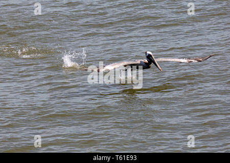 Brown pelican (Pelecanus occidentalis) taking off on the Cooper River off Charleston, South Carolina, USA. The bird splashes its feet off the surface  - Stock Image
