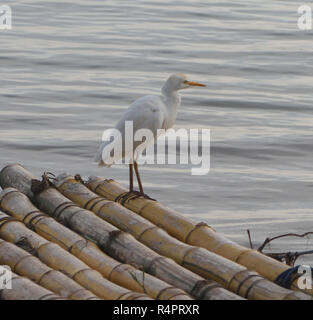 A cattle egret (Bubulcus ibis) stands on a bamboo landing stage on the banks of Lake Victoria. Entebbe, Uganda. - Stock Image