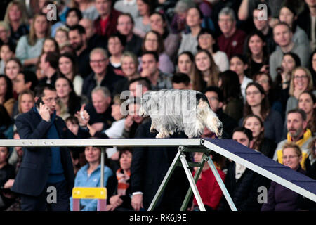 New York, USA. 9th Feb 2019. Autumn, an English Cocker Spaniel, competing in the preliminaries of the Westminster Kennel Club's Master's Agility Championship. Credit: Adam Stoltman/Alamy Live News - Stock Image