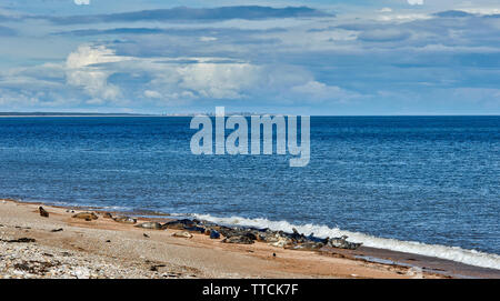 PORTGORDON BEACH MORAY SCOTLAND COMMON SEALS LYING ON THE SAND  AND LOSSIEMOUTH IN THE DISTANCE - Stock Image