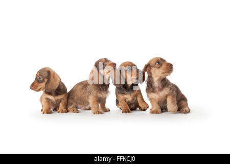 Four wire-haired dachshund puppies on white background - Stock Image