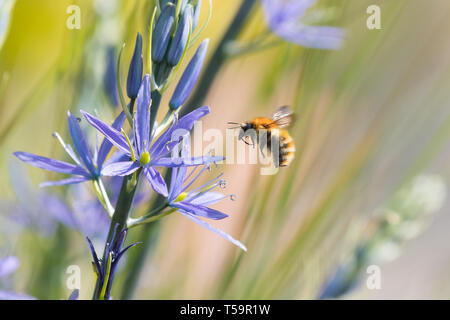 bumblebee in spring flying towards spring flowering camassia flowers - uk - Stock Image