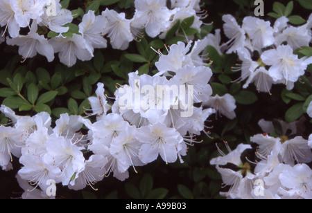 White Azaleas - Stock Image