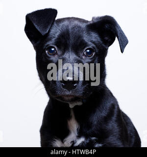 Female mixed breed puppy looking at camera studio portrait - Stock Image