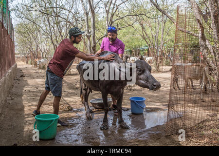 Buffalo getting washed by volunteers at a animal rescue center in India. - Stock Image