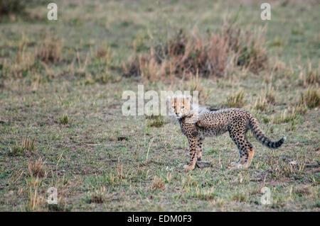 Small Cheetah Cub, Acinonyx  jubatus, Masai Mara National Reserve, Kenya, East Africa - Stock Image