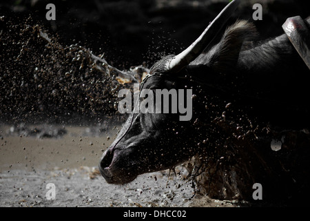 A carabao is splashed with water while working to level a rice field near Mansalay, Oriental Mindoro, Philippines. - Stock Image