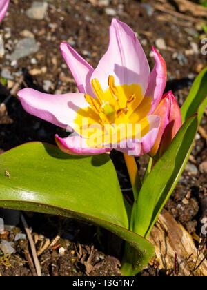 Flower and foliage of the spring blooming botanical tulip, Tulipa saxatalis (Bakeri Group) 'Lilac Wonder' - Stock Image