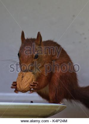 Eurasian red squirrel, (Sciurus vulgaris) - Stock Image