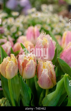 Special parrot selectie pink tulips flowers close up - Stock Image