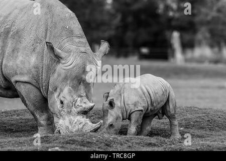 Detailed black & white close-up photograph of Southern White rhinos (Ceratotherium simum) mother & baby, eating together outside at UK wildlife park. - Stock Image