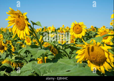 Field of Sunflowers - Stock Image
