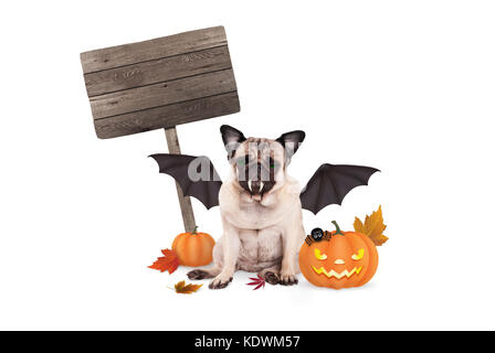 pug dog dressed up as bat for halloween, with  scary pumpkin lantern and blank wooden sign, isolated on white background - Stock Image