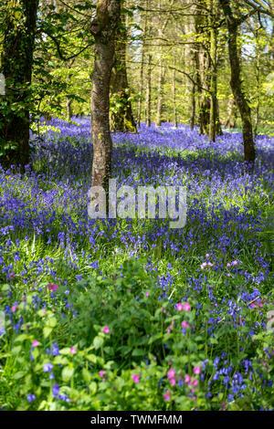 Bluebell wood in Cornwall, England, UK - Stock Image