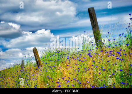 Old fence in pasture with bachelor button wildfloweers. the Palouse, Washington - Stock Image