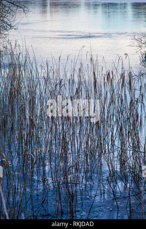 Rushes at the edge of a lake or pond. - Stock Image