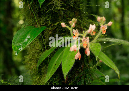Spotted Ponthieva orchid (Ponthieva maculata). Monteverde Cloud Forest Preserve, Costa Rica - Stock Image