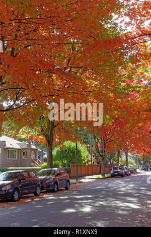 Bright red maple trees on a residential street on the west side of Vancouver, BC, Canada - Stock Image
