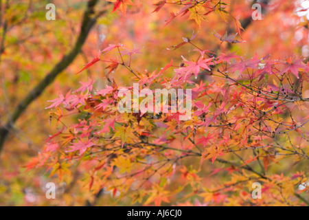 Japanese maple (Acer palmatum) in autumn colors Kyoto Imperial Park, Kyoto, Kansai Region, Japan - Stock Image