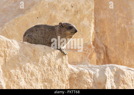 Hyrax animal sitting on rock with tree out to focus background - Stock Image