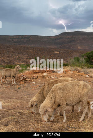 Sheep grazing during a lightning storm on a farm in the Cederberg Mountains in South Africa. - Stock Image