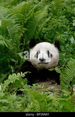Giant panda lying amongst ferns, Wolong, Sichuan, China - Stock Image