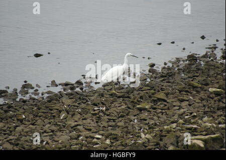 A lone Little Egret walking on the shore line at Draycote Water reservoir on 25th October 2016. - Stock Image